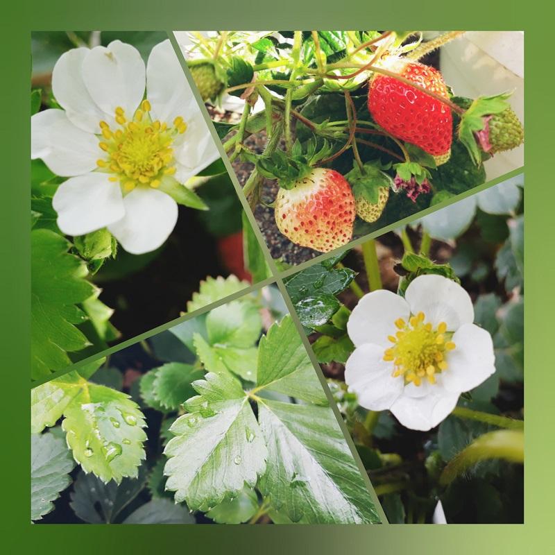 Erdbeerpflanzen jetzt bei Eichsfelder Staudenhof kaufen!