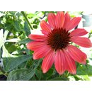 Echinacea Papallo `Dragon Fruit`