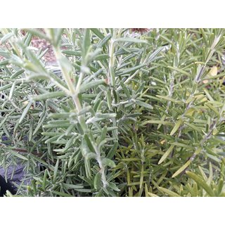 Rosmarinus officinalis Blue Winter - Rosmarin